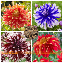 Mexico Heirloom 'Hai kui' dahlia flower seeds, 50 seeds, fragrant perennial garden flowers plant seeds bonsai pot-Land Miracle