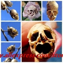 The Death Rose seeds rare and mysterious plant species of snapdragon flower seed pods skull 10 seeds / bag