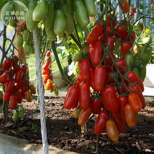 Heirloom Ukraine Kibits Tomato Seeds, professional pack, 100 Seeds TS288T