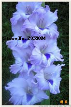 5 BulbsTrue Pink Gladiolus Bulbs,Beautiful Gladiolus Flower,(Not Gladiolu Seed),Flower Symbolizes Longevity,Plant Garden