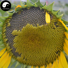 Buy Helianthus Annus Fruit Seeds 150pcs Plant Chinese Grain Sunflower Grow Herb Food Girasol