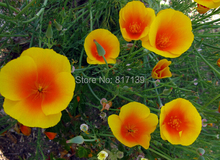 Diy Home Garden Plant 30 Seeds Mix CALIFORNIA Eschscholzia Californica Flower Seeds Free Shipping