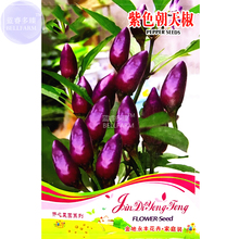 BELLFARM Pod Pepper Dark Purple Chile Vegetables Seeds, 25 Seeds, original pack, ornamental hot bonsai red cluster pepper E4308(China)