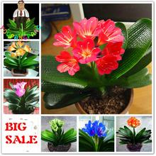 50pcs Cheap Clivia Seeds Beautiful Plants For Balcony Bonsai Rare Flower Seeds Perennial Kaffir Lily Garden Decoration Sementes