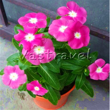 100 Pcs Magenta Vinca Flower Seeds Purple Red Catharanthus Roseus Periwinkle Perennial Flower DIY Home Garden Bonsai Container(China)