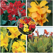Imported Mixed 5 Types of Canna Flowers, Professional Pack, 5 Seeds, deep red yellow orange hybrid colorful red colors E3990