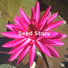 Rare Indian Red Water Lily Nymphaea Rubra 5 Fresh Lotus Seeds Jardin Decoration Free Shipping(China)