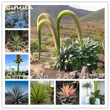 20 Pcs 100% Real Rare Gaint Agave Seeds, Outdoor Plant Tree Seeds Herbs Seeds Succulent Plant Free Shipping Easy To Grow(China)