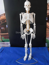 "Flexible 85cm life size 33.5 "" Human skeleton anatomical model  Anatomy Skull Sculpture Head body model Muscle Bone Artist"