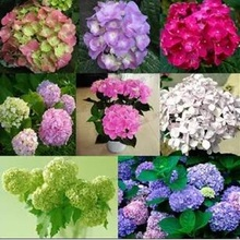 Common hydrangea seed, Balcony Potted flowers hydrangea seed varieties have 24 colors -10 seeds / pack(China)