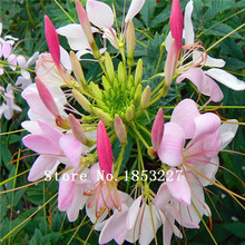 GGG Free Shipping 100 spider flower seeds,blooms from early summer till fall.