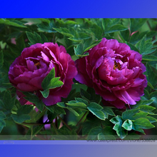 Rare Heirloom Big Blooming Purple Peony Shrub Flower 'Zi Cai' Seeds, Professional Pack, 5 Seeds, Beautiful Garden Flower NF646