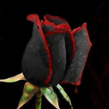 Free Shipping Rare Black Rose Seeds Rare Amazingly Beautiful Black Roses Red Edge Seedling Seed 50pcs
