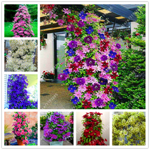 100 pcs/bag beautiful clematis seeds climbing flower seeds clematis vines for DIY home garden plant tree easy grow(China)