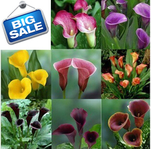 Free shipping .Calla Lily seed, - mixing different varieties - 100 pcs