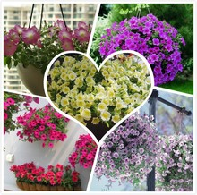 Big sale free shipping Bag seeds flower seeds hanging petunia seeds flowers large flower morning glory seeds -500 pcs