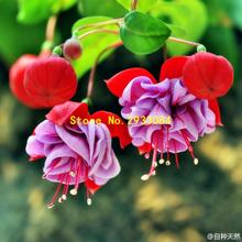 100 Fuchsia Seeds, Bonsai Hanging Flowers F.Alba Coccinnea DIY Planting Flowers