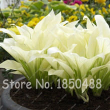 100 Pcs Hosta Plantaginea Seed Fragrant Plant Lily Flower Fire Ice Shade White Lace Bonsai Home Garden Ground Cover Plant Seed
