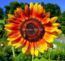 1 orginal  Package ,   20 Seed Rare Garden Mini Sunflower Seeds, ideal decorative garden flower, bright color , pot , yard