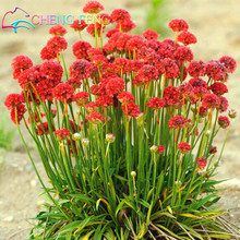 Buy 100 Pcs Seagrass Seeds Lot Wctch Rose Bonsai Flower Seeds Rare Bulbs Flowers Sementes Home Garden Beautiful Jardin Plants for $1.16 in AliExpress store