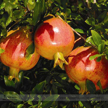 Rare Sochi Dwarf Light Red Yellow Sweet Pomegranate Shrub Fruit Seeds, Professional Pack, 20 Seeds / Pack, Cold Hardy Plant