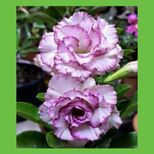 White petals with purple edges Desert Rose seeds garden balcony potted bonsai seeds 1PCS 100% authentic(China)