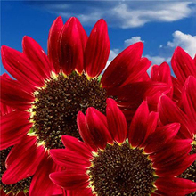 15pcs Flowers Fortune Sunflower Fortune Sunflower Seeds Flowers Seeds Red Sun Fortune Bloom Garden  Seeds Bonsai Plants Seeds