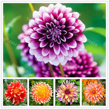 Rare Dahlia seeds,sweet potatoes Dahlia flower seeds,Beautiful Perennial Flowers Dahlia pinnata Seeds for Home garden 100 seeds(China)