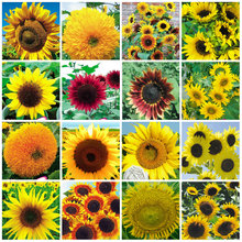 20 Kinds Of Sunflower Seeds 100% Natural Flowers and Food Plants Seeds DIY Home Bonsai Indoor For Farm Garden Planting