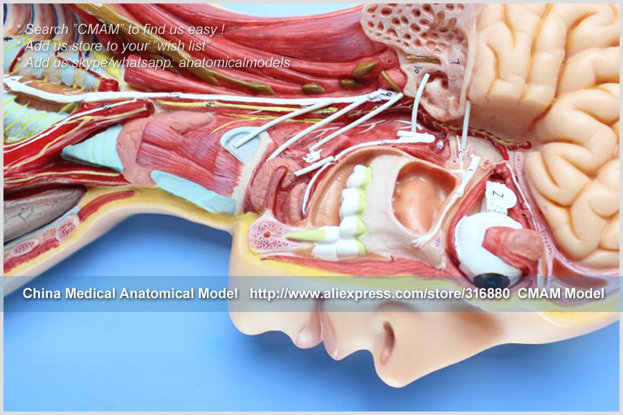 CMAM-TM65081 Sympathetic Nervous System 15