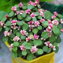 Purslane Seed Edible Cooking Herbs And Medicinal Values, China Vegetable Seed Rare Bonsai Flower Potted Plant 100 Seeds / Pack(China)