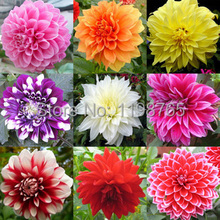 100pc/lot Type ordinally yukako dahlia seeds bonsai flowers seed Free Shipping 49%