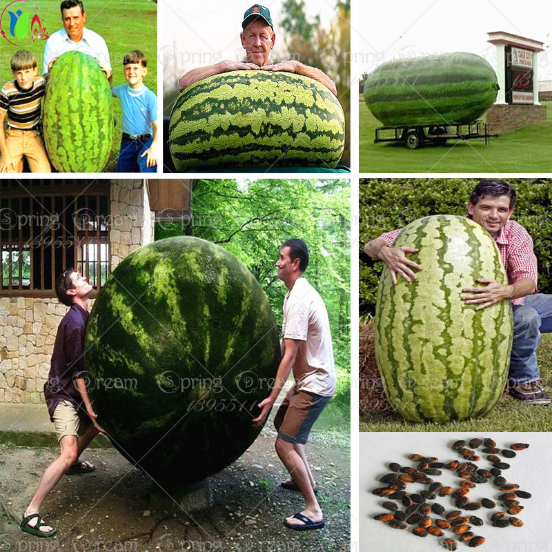 30/bag giant Watermelon Seeds ,Sweet Taste Vegetables and fruit seeds very giant delicious free shipping(China (Mainland))