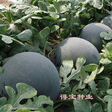 Black Beauty Watermelon Taiwan Big Fruit Black Beauty Watermelon Field Vegetable Seeds Fruit Seeds High Sweetness 30Seeds
