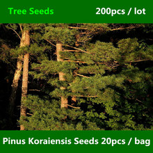 ^^Evergreen Tree Pi nus Koraiensis Seed 200pcs, Landscape Garden Korean Pine Seed, Family Pinaceae Ornamental Hong Song Shu Seed(China)