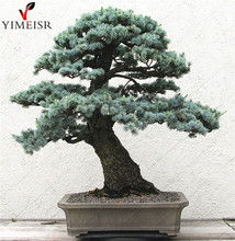 Cedrus deodara seeds Cedrus Deodara Conifer Indoor Plant bonsai tree seeds Light blue Deodara Cedar seed 10pcs/bag