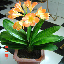 10 seeds/pack Round large potted treasures boutique Monk Clivia flower seed varieties victory shipping