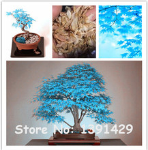 20 pcs blue maple tree seeds Bonsai tree seeds. rare sky blue japanese maple seeds Balcony plants for home garden