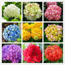 20pcs/bag Hydrangea Flower Seeds mixed color Bonsai Fort Viburnum Hydrangea Macrophylla Bonsai Plant Seeds for home garden(China)