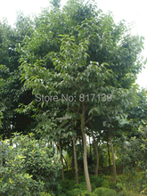 New Home Garden 5 Seeds HARDY RUBBER TREE,Eucommia Ulmoides Seeds Free Shipping
