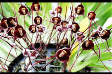 Potted Peru Monkey Face Orchid Seeds , Senior Phalaenopsis Bonsai Plants Flower Seeds -10 seeds