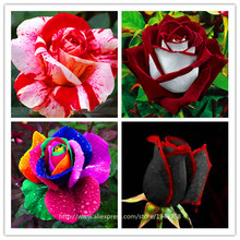 200pcs Rose seeds, Rare exotic seeds Chinese Rose Flower Seeds for home garden plants ,24 colors(China)