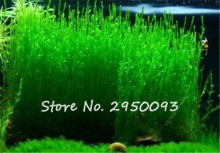 Flame Moss Seeds Sagina Subulata Seeds, Moss Bonsai Decorative Water Grass Seeds Home Garden Plant DIY Free Shipping 500 Pcs