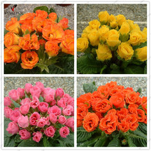 Rose Primula seeds Rare indoor bonsai flower seeds Double petals Primrose outdoor Potted plant seeds for home garden10pcs/bag(China)