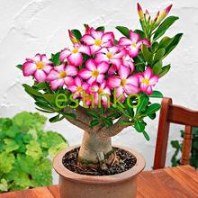 Genuine Desert Rose Seeds 1pcs Adenium Obesum Seeds Flower Bonsai Seeds Air Purification Home Garden Potted Flower(China)