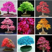 100% authentic Japanese maple seeds maple tree bonsai tree seeds cheap seed,50 seeds / bag, very nice indoor tree, free shipping
