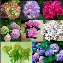 Common hydrangea seed, Balcony Potted flowers hydrangea seed varieties have 24 colors -10 seeds / pack