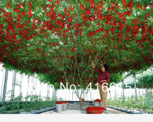 200 Pcs ITALIAN TREE TOMATO Seeds 'Trip L Crop' Seeds *Comb S/H ,Vine Tomato Climbing Tomato Tree , Plus Mysterious Gift