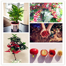 20 Pcs Coffee Bean Seeds Home- grown Cocoa Bean Seeds Balcony Bonsai Tree Plant Seed Coffee Cherry Seeds Home Graden Plant