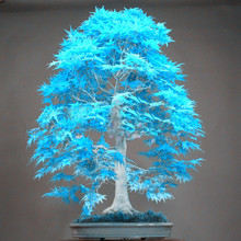 10PCS elegant powder blue Japanese maple seeds mini bonsai seeds bonsai tree seeds Maple Seeds bonsai garden Home